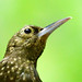 Peek-a-boo Long-tailed Woodcreeper