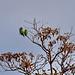 Златолобая аратинга, Aratinga aurea, Peach-fronted Parakeet