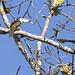 Curl-crested Aracari (Pteroglossus beauharnaesii) 2 072318