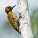 Veniliornis affinis