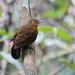 Tawny-throated Leaftosser (Sclerurus mexicanus macconnelli)
