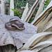 Water Snake, Erythrolamprus poecilogyrus.