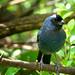 Sanhaço-frade (Stephanophorus diadematus)