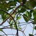 Olivaceous Flatbill-Rhynchocyclus olivaceus - Platyrhynque olivâtre 7927.jpg