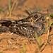 Little Nightjar (Setopagis parvula)