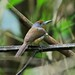 Peru: Rufous-capped Nunlet