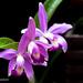 Cattleya eldorado