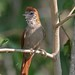 Rusty-backed Spinetail (Cranioleuca vulpina)