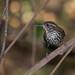 Sharp-tailed Streamcreeper - joão-porca (Lochmias nematura)