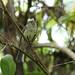 Serra do Mar Tyrant-Manakin  (Neopelma chrysolophum)
