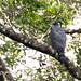 Grey-bellied Hawk (Accipiter poliogaster)