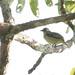 White-lored Tyrannulet - Ornithion inerme - Orellana, Ecuador - January 13, 2006