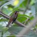 Rabo Branco Rubro / Reddish Hermit (Phaethornis ruber)