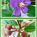 Flower and seedpods of Tibouchina mutabilis