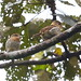 Striolated Puffbirds