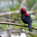 Helmeted Manakin (Antilophia galeata) - male