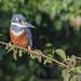 9K0A3225 Ringed Kingfisher, Megaceryle torquata.