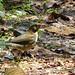 White-throated Thrush (Turdus albicollis) (Turdus assimilis)