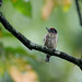 Ochraceous Piculet (Picumnus limae)