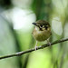 White-throated Spadebill (Platyrinchus mystaceus)