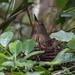Zigzag Heron, an Endangered Heron of the Amazon Basin
