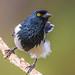 Magpie Tanager, Itororo, Brazil