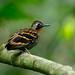 Wing-banded Antbird, Panama