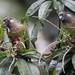 Conure versicolore - Painted Parakeet