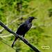 Molothrus oryzivorus ( Iraúma-grande ou Melrão ou Graúna ) - Giant Gowbird  -   21994a