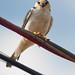 gaviãozinho  (Gampsonyx swainsonii) - Pearl Kite
