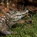 Ou é Jacaretinga | Caiman crocodylus ou é Jacaré do Pantanal | Caiman yacare