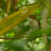 "A Thrush-like Antpitta (Myrmothera campanisona) coming out in the ""open"". A rare sight..."