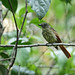Rufous tailed-Flatbill