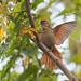 arredio-do-rio (Cranioleuca vulpina) - Rusty-backed Spinetail