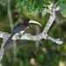 Red-necked Aracari