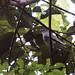 Pompadour Cotinga