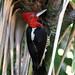 Robust Woodpecker (Campephilus robustus) Красноголовый королевский дятел