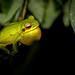 Pererequinha-verde (Hypsiboas prasinus)