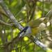 Green-backed Becard_17-09-18_Pachyramphus viridis