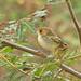 Tawny-fronted Pygmy-tyrant, Tawny-crowned Pygmy-tyrant (Euscarthmus fulviceps) (Euscarthmus meloryphus) (Euscarthmus meloryphus fulviceps)