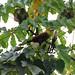 "Olive (Amazonian) Oropendola "" Psarocolius bifasciatus"""