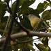 Rufous-winged Antwren_17-09-19_Herpsilochmus rufimarginatus