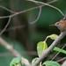 bico-assovelado (Ramphocaenus melanurus) - Long-billed Gnatwren
