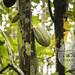 Cacau (Theobroma cacao)