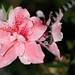 Sibynomorphus mikanii & Rhododendron sp