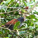 Choca-listrada (Chestnut-backed Antshrike)