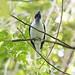 Bearded Bellbird Vocalizing - Procnias averano