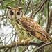 Buho rayado, Striped Owl, Asio clamator, Rhinoptynx clamator