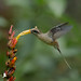 Ermite à brins blancs - Phaethornis superciliosus - Long-tailed Hermit
