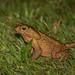 Sapo-cururu (Rhinella icterica) Yellow Cururu Toad - macho/male